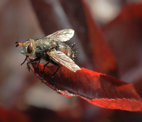 TACHINID FLY is covered with thick, dark bristles on its abdomen. In its larval stage, this insect parasitizes caterpillars, especially Lepidoptera. (Photo by Kathy Keatley Garvey)