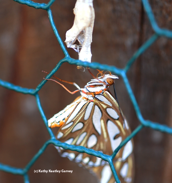 Female Gulf Fritillary butterfly dries her wings after emerging from her chrysalis. (Photo by Kathy Keatley Garvey)