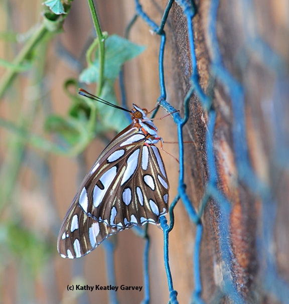 Newly emerged Gulf Fritillary butterfly hangs on the fence. (Photo by Kathy Keatley Garvey)
