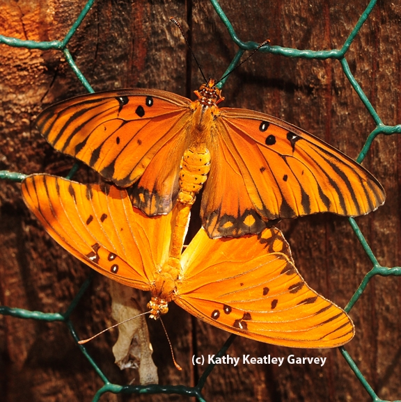 Mating Gulf Fritillary butterflies. (Photo by Kathy Keatley Garvey)