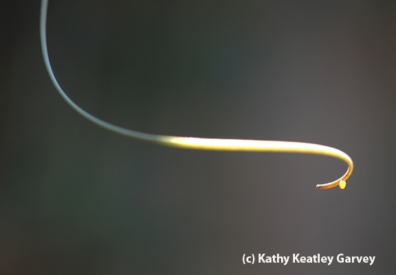 Tiny Gulf Fritillary butterfly egg at end of a tendril on a passionflower vine. (Photo by Kathy Keatley Garvey)