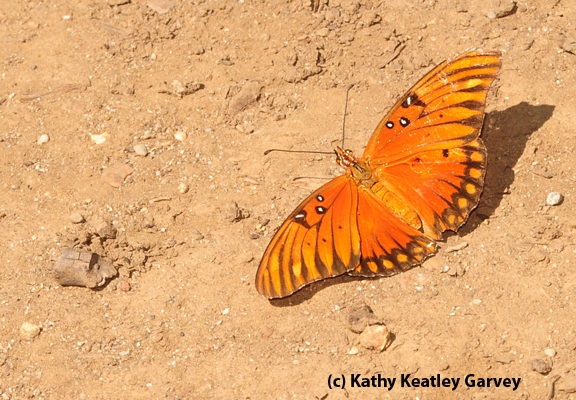 An adult Gulf Fritillary. (Photo by Kathy Keatley Garvey)