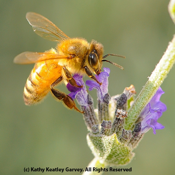 Honey bee on lavender. (Photo by Kathy Keatley Garvey)