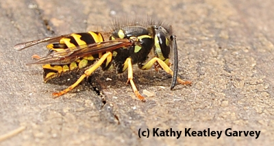 Yellowjacket, Vespula pensylvanica. (Photo by Kathy Keatley Garvey)