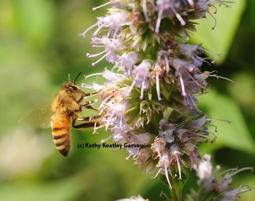 An Italian honey bee nectaring on phacelia. (Photo by Kathy Keatley Garvey)