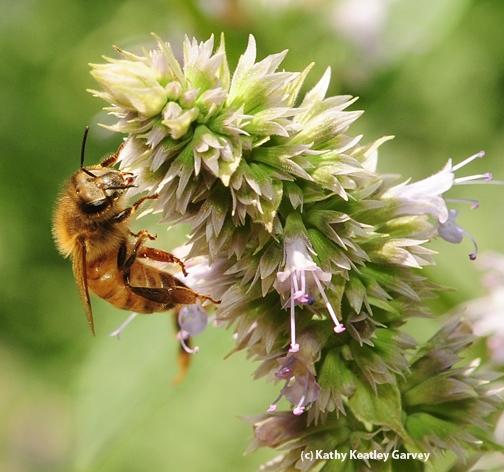 Honey bee working phacelia blossoms. (Photo by Kathy Keatley Garvey)