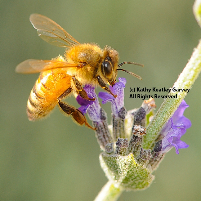 Italian honey bee nectaring lavender. (Photo by Kathy Keatley Garvey)