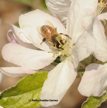 Honey bee on an apple blossom. (Photo by Kathy Keatley Garvey)