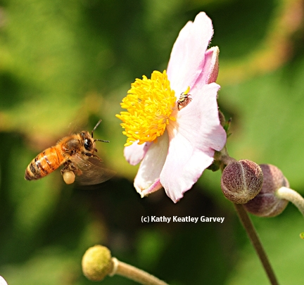 Honey bee in flight, heading toward a Japanese anemone and unaware of the spider. (Photo by Kathy Keatley Garvey)