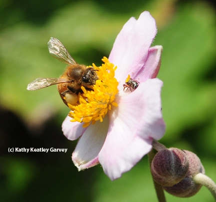 Honey bee forages while the jumping spider lurks. (Photo by Kathy Keatley Garvey)