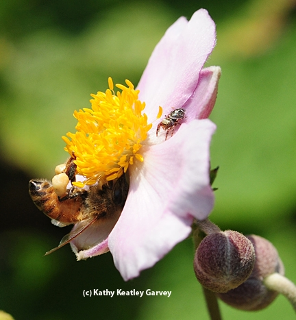 This was a perfect time for the jumping spider to nail the bee, but it didn't. (Photo by Kathy Keatley Garvey)