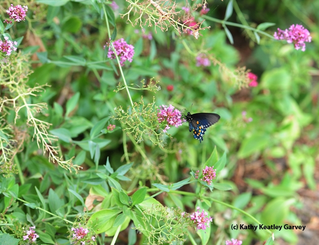Jupiter's Beard and a single pipevine swallowtail. (Photo by Kathy Keatley Garvey)