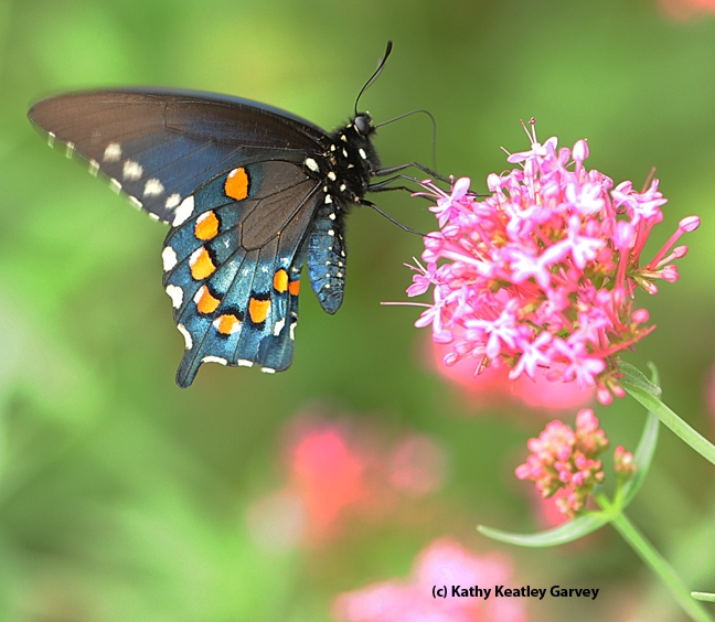 Close-up of pipevine swallowtail, Battus philenor, on Jupiter's Beard. (Photo by Kathy Keatley Garvey)