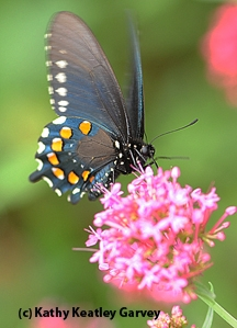 Pipevine swallowtail on Jupiter's Beard. (Photo by Kathy Keatley Garvey)