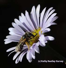 A female sweat bee, Halictus ligatus. (Photo by Kathy Keatley Garvey)