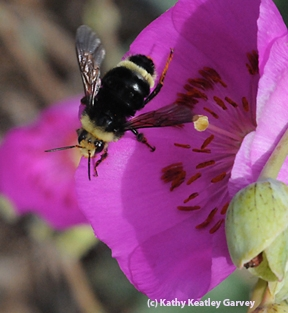 Yellow-faced bumble bee, Bombus vosnesenskii. (Photo by Kathy Keatley Garvey)