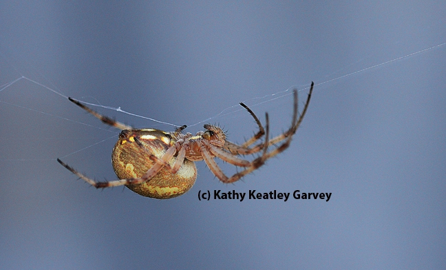A western spotted orb weaver, Neoscona oaxacensis, finishing its web. (Photo by Kathy Keatley Garvey)