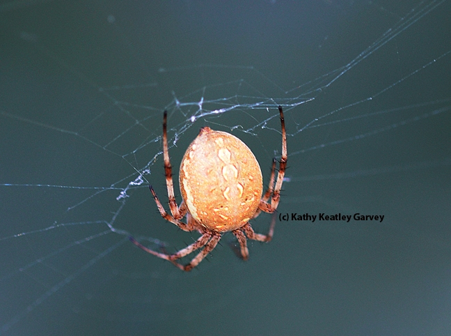 Note the round or globular abdomen on this western spotted orb weaver. (Photo by Kathy Keatley Garvey)