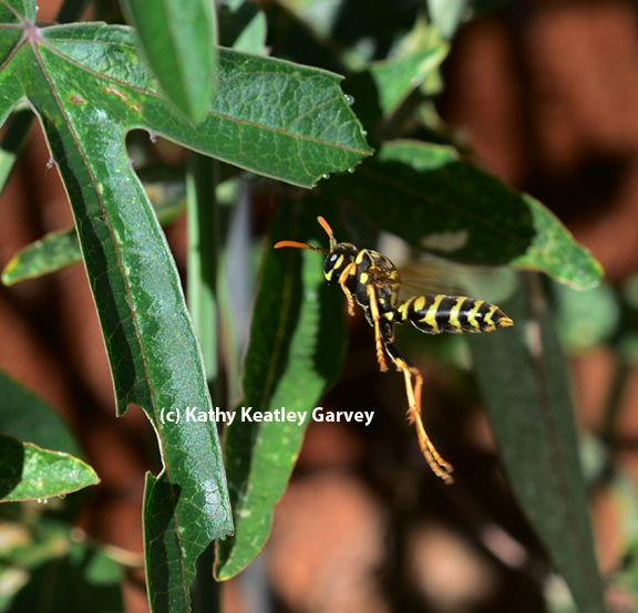 A European paper wasp on the hunt. (Photo by Kathy Keatley Garvey)
