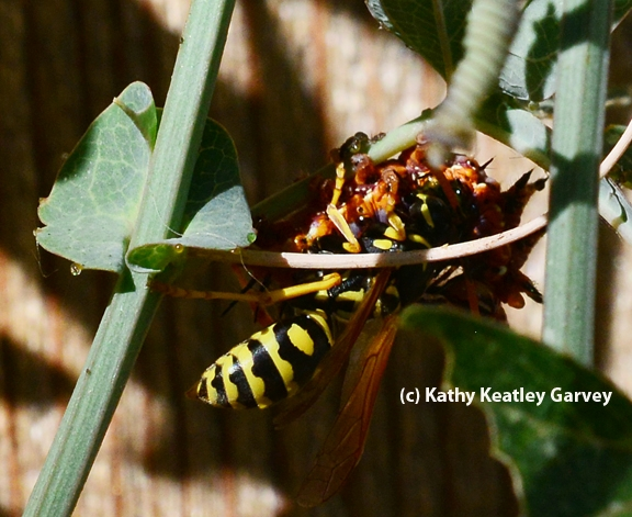 A European paper wasp attacks a Gulf Fritillary caterpillar. (Photo by Kathy Keatley Garvey)