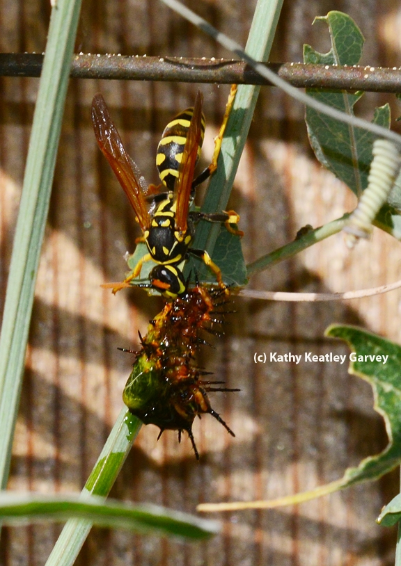 The European paper wasp tears apart the caterpillar, food for its young. (Photo by Kathy Keatley Garvey)