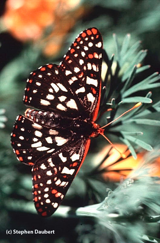 This photo, by Stephen Daubert, is of a variable checkerspot (Euphydryas chalcedona).