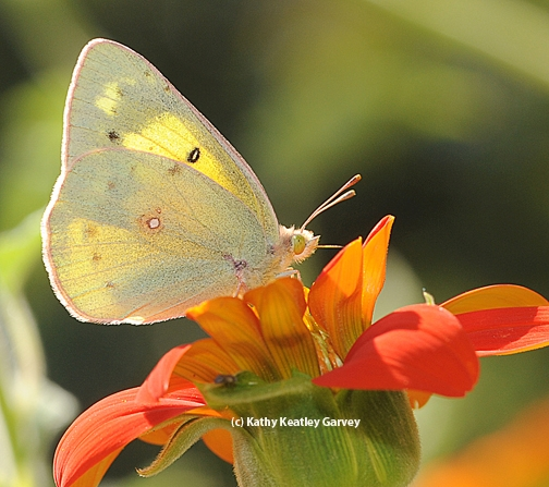 Participants on the Sept. 29 tour may be able to see an alfalfa sulfur butterfly. (Photo by Kathy Keatley Garvey)