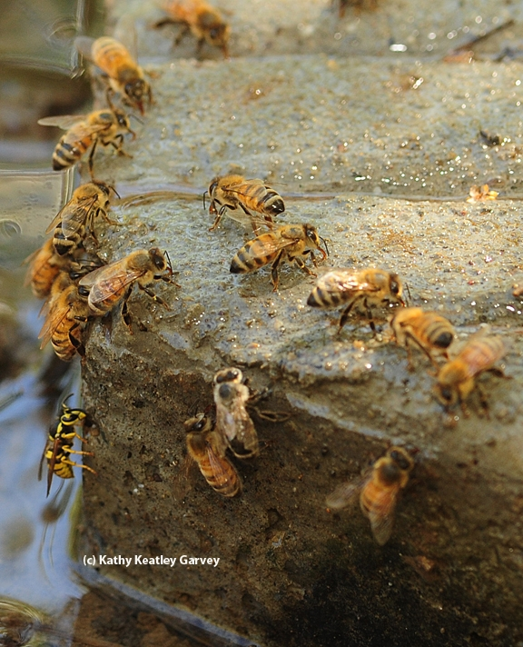 A yellowjacket joins honey bees in seeking water. (Photo by Kathy Keatley Garvey)