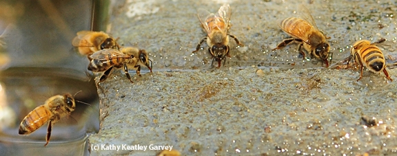 A honey bee, caught in flight, ready to join her sisters in gathering water. (Photo by Kathy Keatley Garvey)