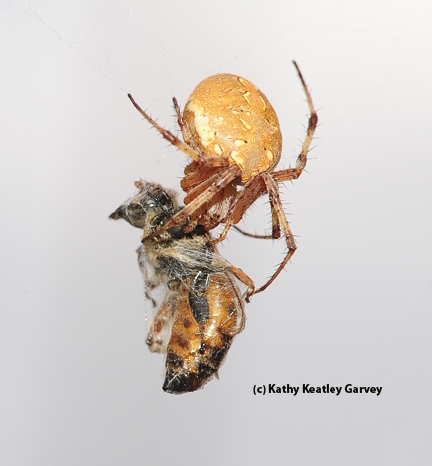 Western spotted orb weaver snares and wraps a honey bee. (Photo by Kathy Keatley Garvey)