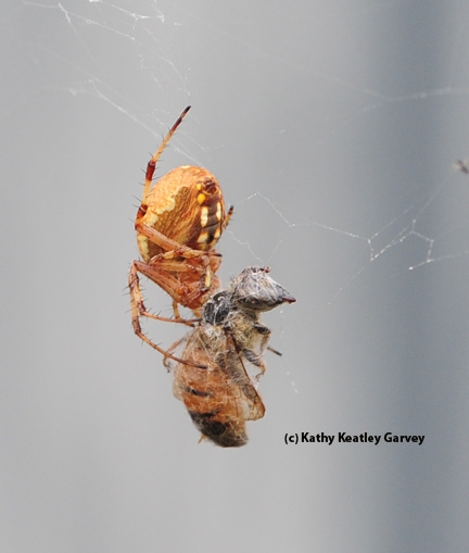 The spider's spots are visible in this photo. (Photo by Kathy Keatley Garvey)