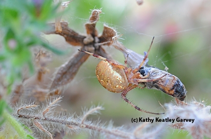 After tugging the honey bee into the tower of jewels, the spider proceeds to eat it. (Photo by Kathy Keatley Garvey)