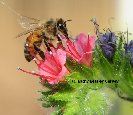 This honey bee narrowly missed being a target of the spider.  It is nectaring on a tower of jewels, Echium wildpretii. (Photo by Kathy Keatley Garvey)