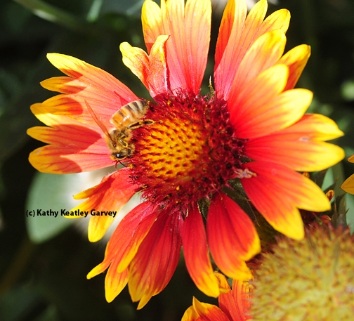 A honey bee foraging on a blanket flower, Gaillardia. (Photo by Kathy Keatley Garvey)