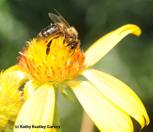 A honey bee on a blanket flower (Gaillardia). (Photo by Kathy Keatley Garvey)