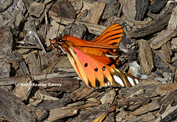 Newly emerged Gulf Fritillary butterfly, fresh from its chrysalis, lands on a bed of wood chips.  (Photo by Kathy Keatley Garvey)