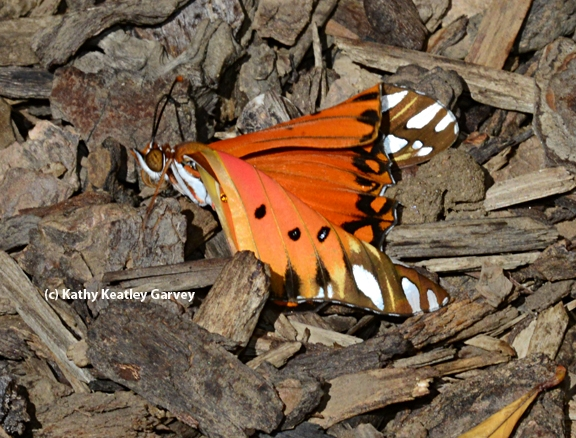 Gulf Fritillary starts to stir. (Photo by Kathy Keatley Garvey)