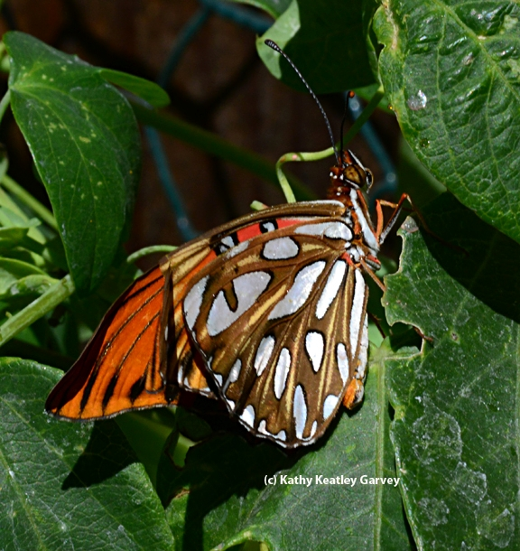 Gulf Fritillary slightly opens its wings. (Photo by Kathy Keatley Garvey)