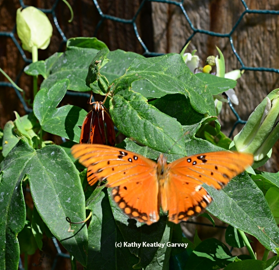 Another butterfly comes down to investigate. (Photo by Kathy Keatley Garvey)