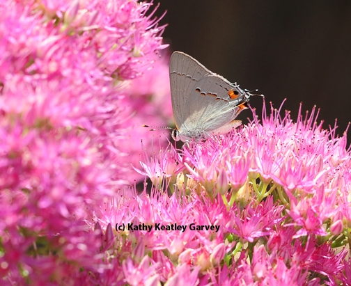 A gray hairstreak foraging in sedum. (Photo by Kathy Keatley Garvey)