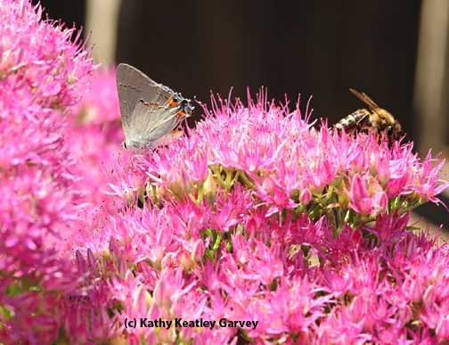 A honey bee joins a gray hairsteak on a sedum blossom. (Photo by Kathy Keatley Garvey)