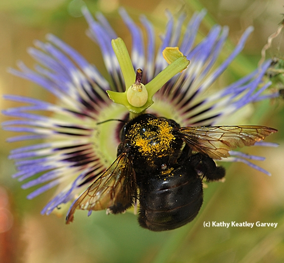 A female Valley carpenter bee is covered with yellow pollen. (Photo by Kathy Keatley Garvey)
