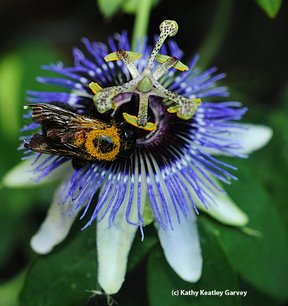 Female Valley carpenter bee on a passionflower blossom. (Photo by Kathy Keatley Garvey)