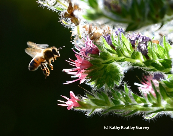 Backlit honey bee heading toward tower of jewels in the early morning. (Photo by Kathy Keatley Garvey)
