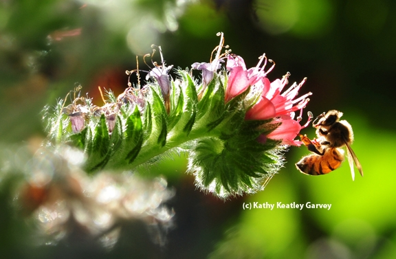The glow of a honey bee in the early morning light. (Photo by Kathy Keatley Garvey)