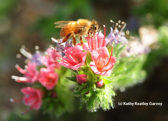 Morning light shining on honey bee. (Photo by Kathy Keatley Garvey)