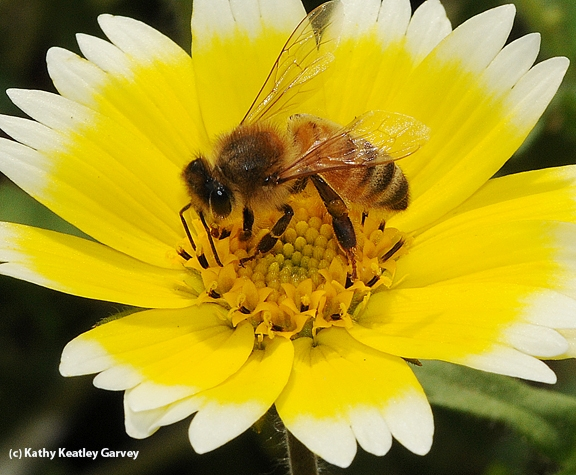 Honey bee foraging on a tidy tips wildflower, Layia platyglossa. (Photo by Kathy Keatley Garvey)