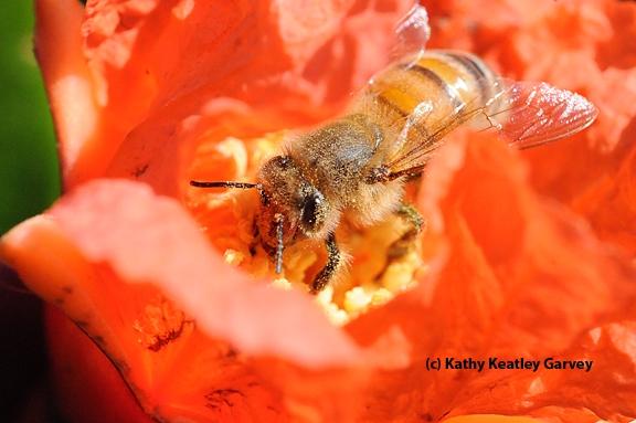 Honey bee on a pomegranate blossom. (Photo by Kathy Keatley Garvey)