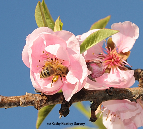 Honey bee pollinating nectarine blossoms. (Photo by Kathy Keatley Garvey)