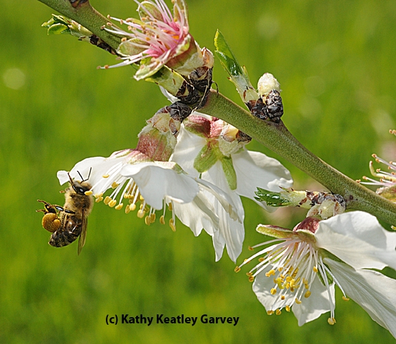 Honey bee packing pollen while foraging on an almond blossom. (Photo by Kathy Keatley Garvey)